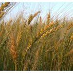 Pšenica in ljuljka čakata na žetev. Zdaj rasteta skupaj, tistega dne pa bosta za večno ločeni: prva za večno srečo, druga za večno sramoto… Izbira je naša!